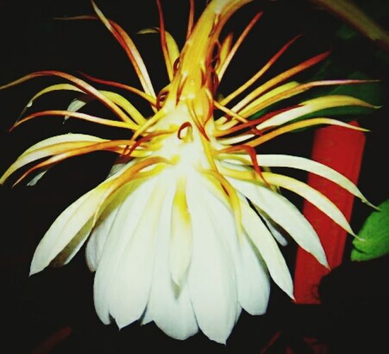 Quỳnh đêm Flower Head Flower Petal Close-up