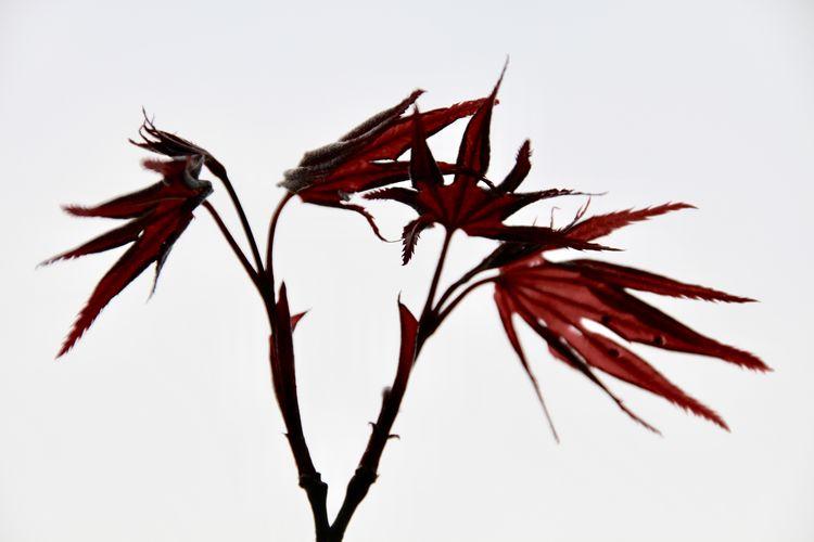 MAPLE Plant
