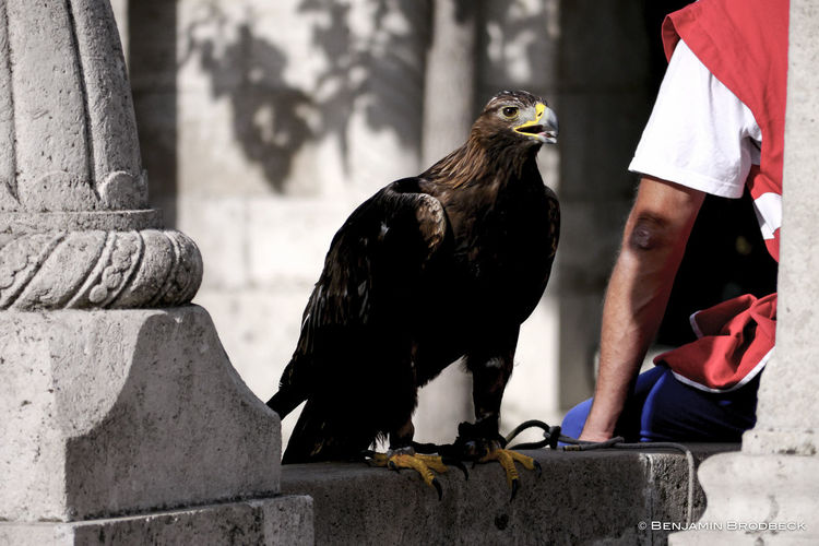 Golden Eagle Perching On Retaining Wall