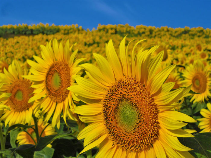 No People Outdoors Nature Flowering Plant Plant Flower Growth Sunflower Yellow Sky Close-up Flower Head