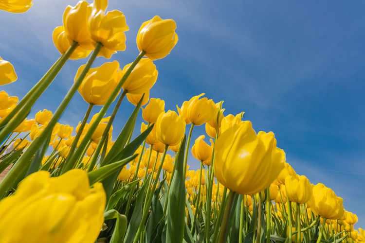Yellow Flower Flowering Plant Plant Vulnerability  Beauty In Nature Fragility Growth Freshness Petal Inflorescence Sky Flower Head Close-up Nature No People Field Land Day Tulip Outdoors Springtime