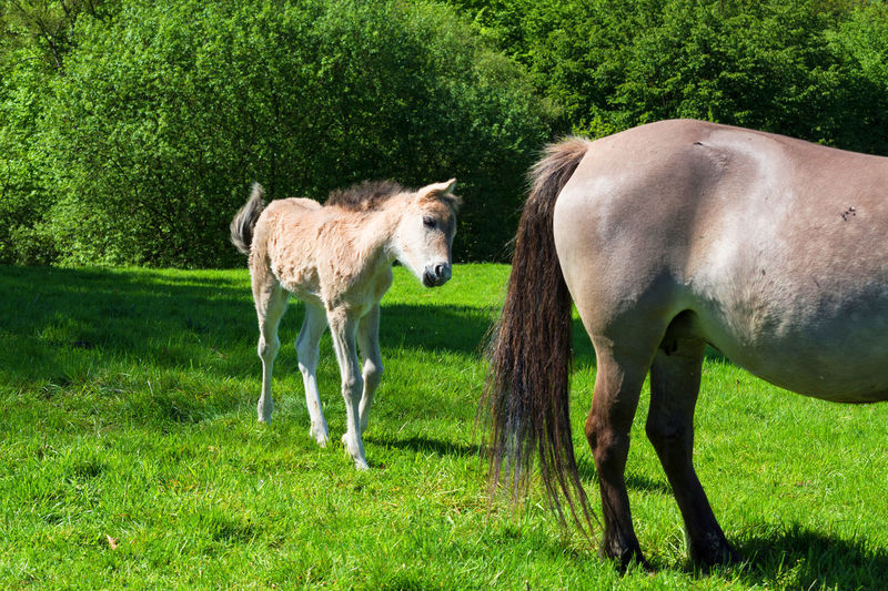 Wild horses in Neandertal. Tarpan is a Eurasian wild horse obtained by re-breeding. Stallion Wild Horse Animal Themes Back Breeding Day Domestic Animals Field Foal Foals Full Length Grass Grazing Green Color Horse Livestock Mammal Nature No People Outdoors Standing Togetherness Trapan Horse Tree Young Animal