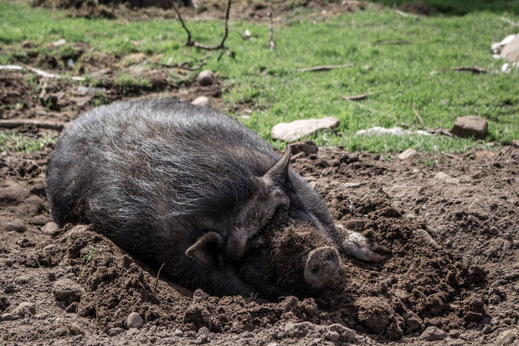 Resting pig. Animal Animal Head  Animal Themes Close-up Day Field Focus On Foreground Grass Lying Down Mammal Nature No People Outdoors Relaxation Resting