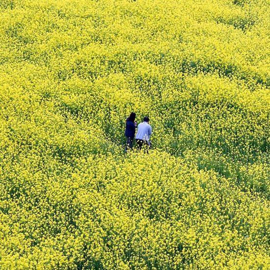 🌻유 낙동강유채꽃축제 부산여행 출사 부산낙동강유채꽃축제 유채꽃 꽃 빈카메라 Pusan Busan Travel Trip Journey RapeFlower Flower Bincamera