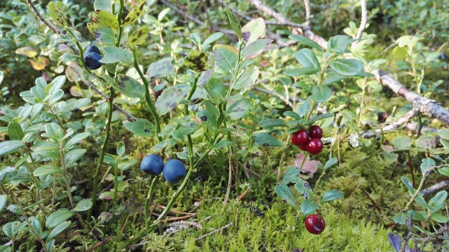 Berries Beauty In Nature Day Fruit Growth Leaf Nature No People Outdoors Plant Red