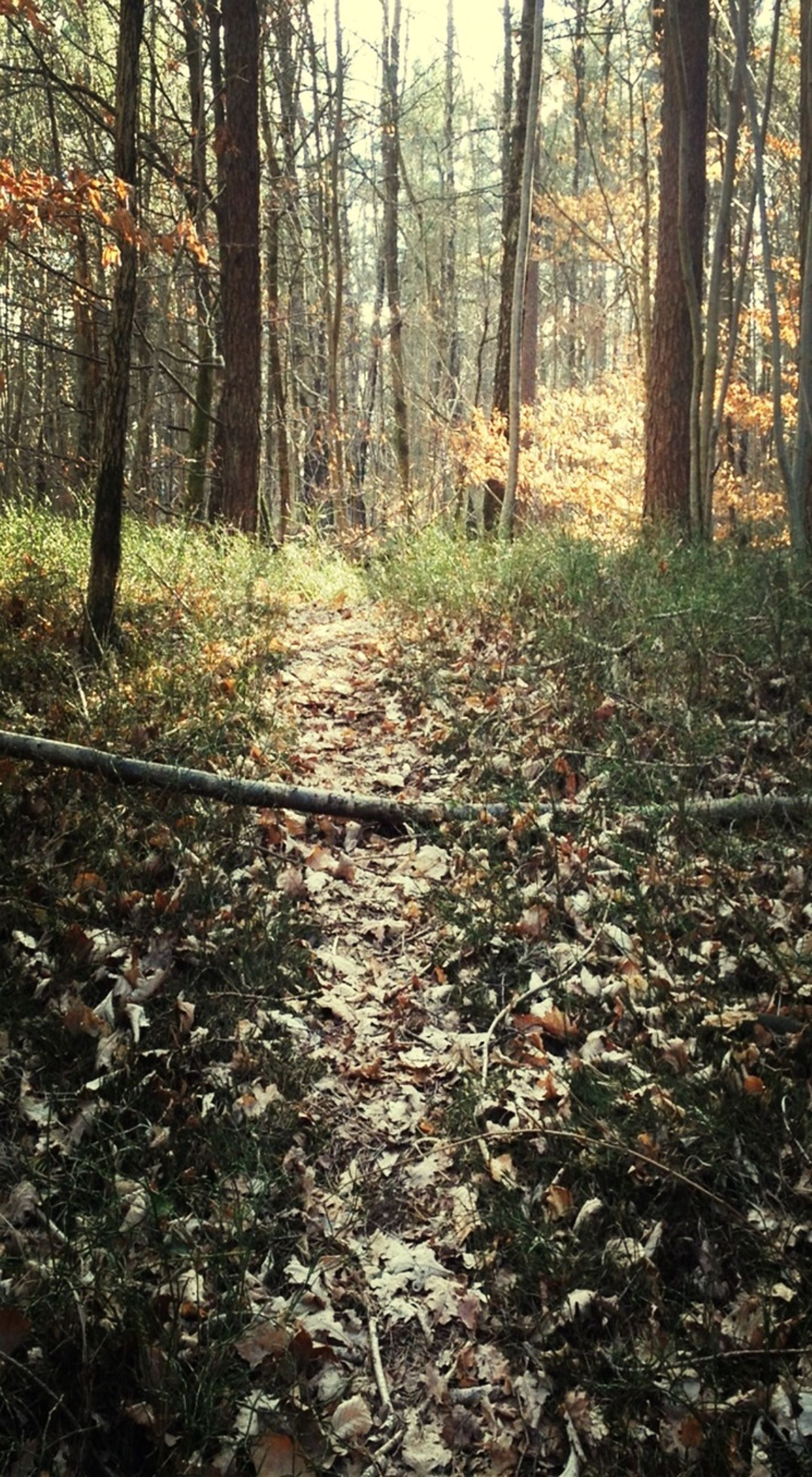 tree, forest, woodland, tranquility, tree trunk, tranquil scene, nature, the way forward, growth, beauty in nature, non-urban scene, scenics, dirt road, landscape, autumn, day, woods, outdoors, branch, no people