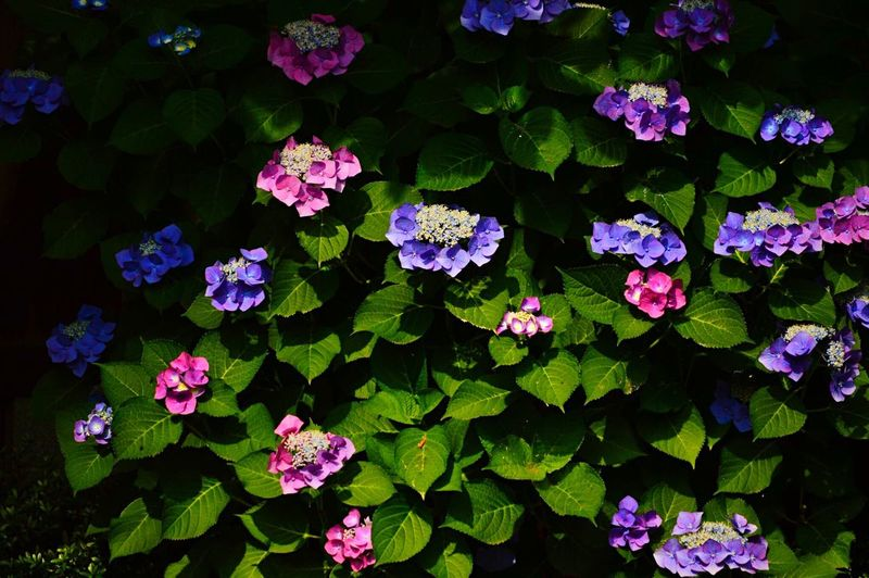 Flower Beauty In Nature Nature Fragility Growth Green Color Leaf Plant Petal Outdoors Freshness No People Pink Color Day Blooming Flower Head Close-up Botanical Garden Periwinkle Hydrangea 紫陽花 Japan Shiga 近江八幡 滋賀県 Season of hydrangea. Very favorite flower.