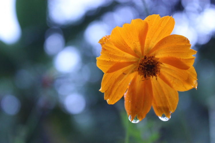 the water of the bottom flower Beauty In Nature Blossom Botany Close-up Flower Flower Head Focus On Foreground Freshness Growth Macro Nature Orange Color Plant Selective Focus Yellow