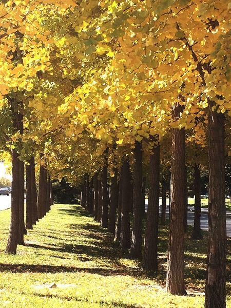 Trees Nature Plant Maidenhair Tree