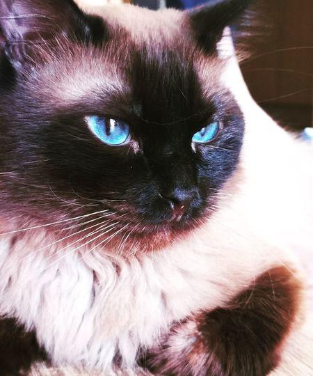 Pets Persian