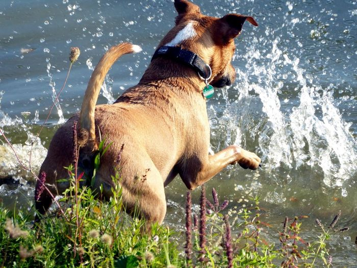 let's do it the same way. , just enjoy the moment🤩 Happy Dog Captured Moment Love Dogs 😍🐶 Watching Dogs Beauty In Nature Simple Beauty Simple Photography For My Friends🙄🙋♀️ Happy Moment♥ Lucky Me🦄 Thankful🦄 Life Is Motion In Motion, Golden Hour Evening Light Sunny Day Beautiful Light Mood Captures Celebrate The Little Things In Life Water Pets Dog Motion Standing Splashing Sky