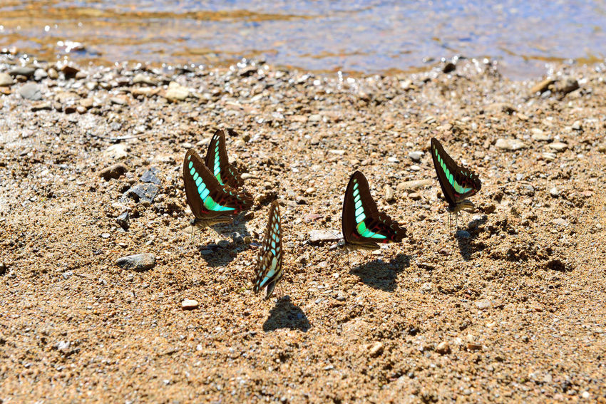 Green butterfly free to fly in the stream water foraging. Earth Field Fly Natural Nature Active Animal Themes Beach Bleu Butterfly Butterfly Close-up Day Ecology Foraging Inhale Insect Lively Nature No People Outdoors Sand Sea Soil Surroundings Water