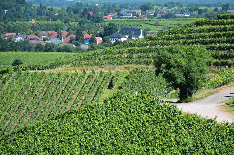 The tree between the vines Agriculture Cultivated Land Field Green Green Color Growth Hill Idyllic Landscape Ortenberg Germany Plant Rural Scene Tranquil Scene Tree Vineyard