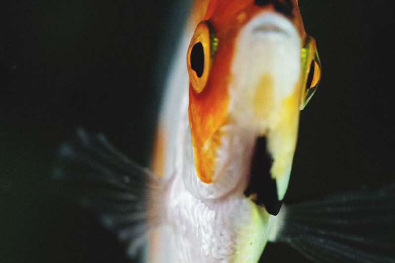 Fischaugen Animal Eyes Fish Black Background Multi Colored Yellow Portrait Close-up