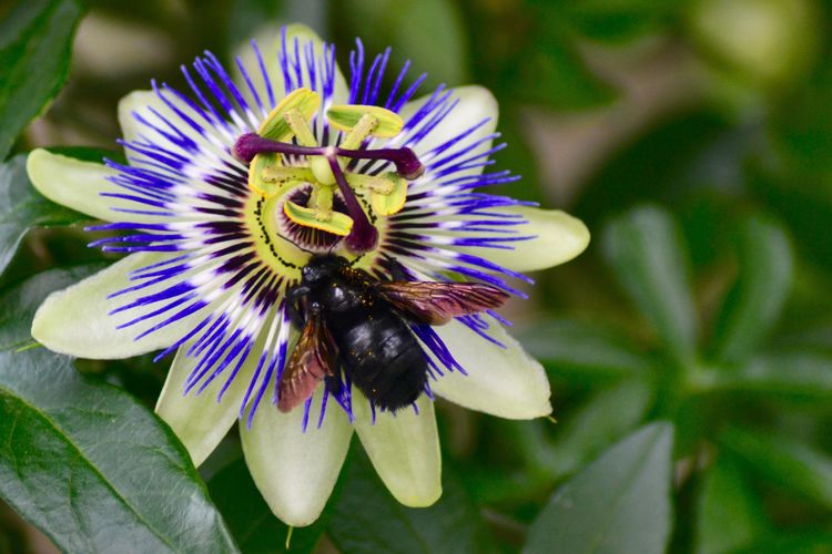 Passion Flower Black Bee Fragility Beauty In Nature Nature Freshness Petal Flower Head Growth Blooming Focus On Foreground Passion Flower Animal Themes One Animal Pollen Outdoors Animals In The Wild Day Close-up Plant No People EyeEm Nature Lover