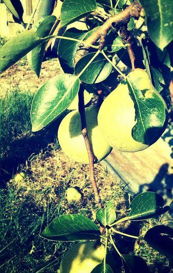 Pear Sunshine ☀