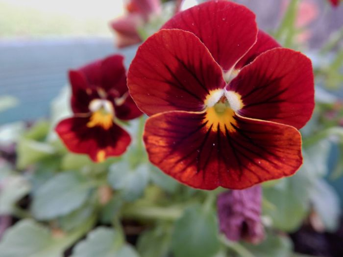 red pansy Day