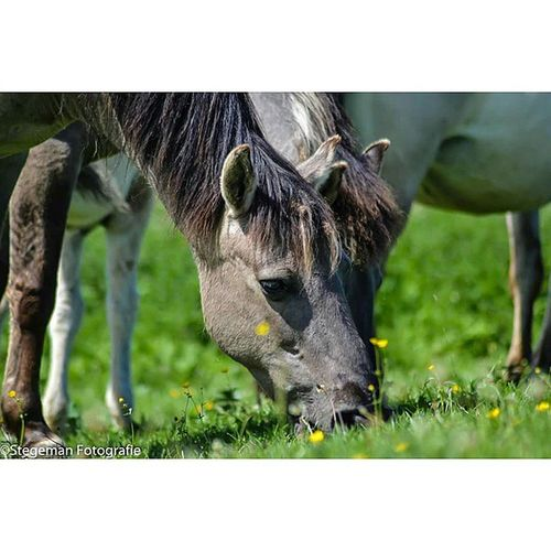 Grazen Paardfotografie Paard Horse dierfotografie animalphotography fotografie photography