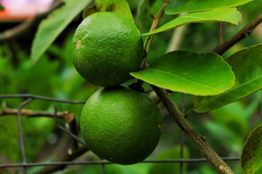 Twin Lemon Lemon Twist Lemon Tree Lemons Lemon Thai Lemon Fruit Food And Drink Growth Green Color Food Freshness Healthy Eating Branch Leaf Focus On Foreground Close-up Outdoors Nature No People Tree Unripe Day