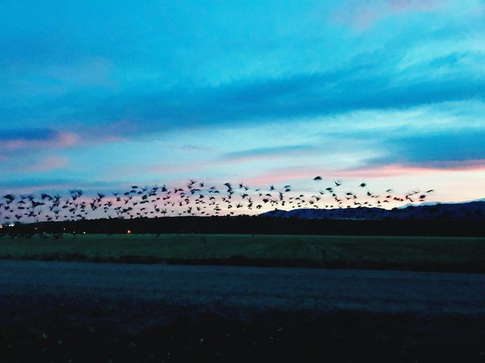 Frightened flock. Large Group Of Birds Large Group Of Animals Sky Cloud - Sky Bird Animals In The Wild Flock Of Birds Nature Migrating Flying Beauty In Nature Scenics Sunset Landscape No People Animal Themes Outdoors Animal Wildlife Mid-air