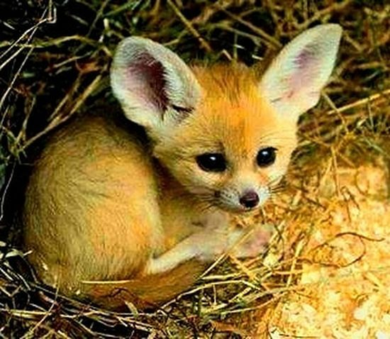 Fenic fox (baby) Fenic Artic Baby Portrait Looking At Camera Fox Red Panda Close-up