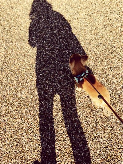 Pets Dog One Animal Shadow Sunlight High Angle View One Person Outdoors Dog Lead Chihuahua Chihuahua Love ♥ 2yearsold  Have A Nice Day! Niko Make You Coffee