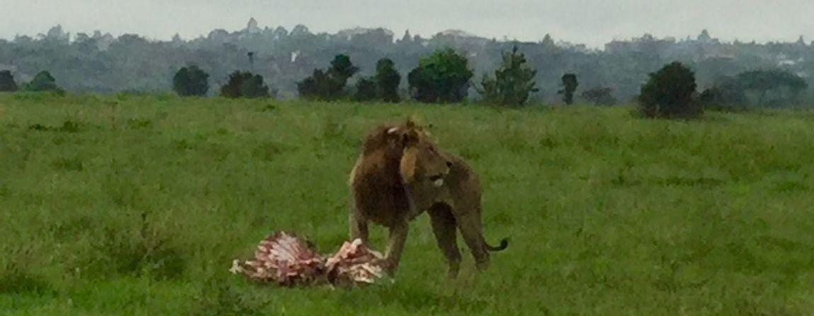 Africa Animal Themes Kenya King Of The Jungle Lion Nairobi National Park Safari Zoology