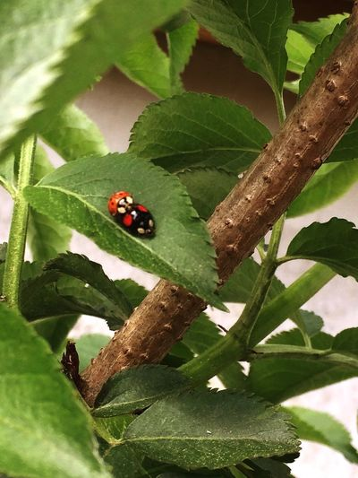 Ladybugs on Elder Sambucus Nigra Elder Flower Elder Tree Animal Wildlife Animals In The Wild Invertebrate Insect Animal Animal Themes Plant Part Plant Leaf Beetle Ladybug Close-up Growth Nature