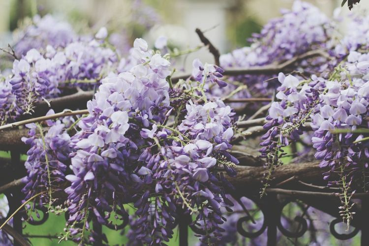 Purple Flowers Flower Tree Flower Head Springtime Scented Hanging Purple Blossom Close-up Plant Plant Life Lilac Apple Blossom Lavender Colored Cherry Blossom Flowering Plant Botany Fruit Tree Pistil Stamen Botanical Garden Twig Cherry Tree In Bloom Wisteria Orchard Lavender Inflorescence