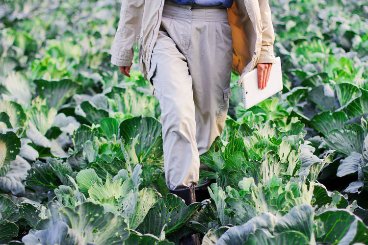 A farmer walks through a cabbage field. gardening on an organic vegetable farm
