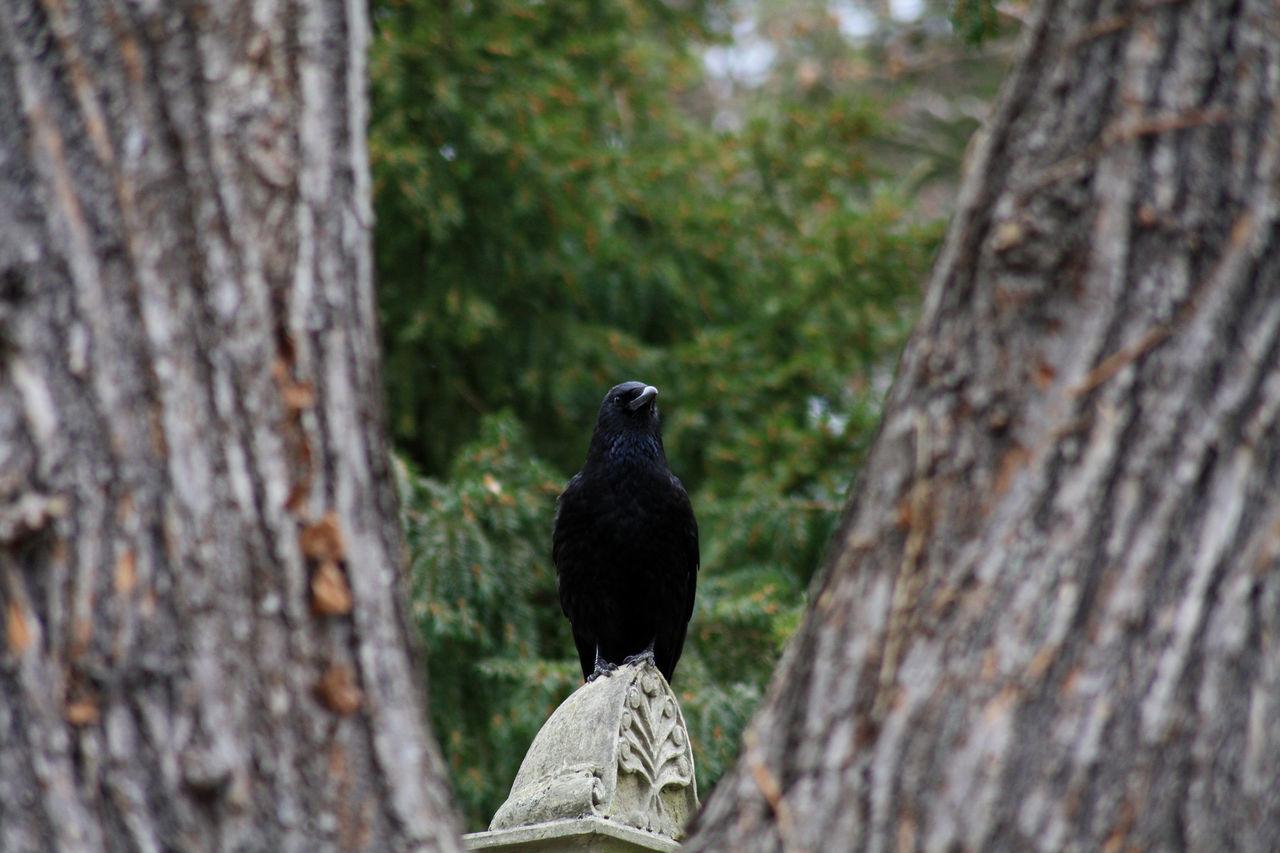 bird, animal themes, animals in the wild, one animal, tree trunk, tree, perching, day, focus on foreground, nature, animal wildlife, crow, no people, blackbird, outdoors, raven - bird, close-up