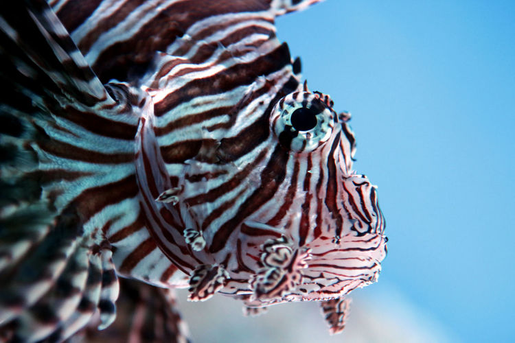 Lion fish Animal Animal Head  Animal Markings Animal Themes Animal Wildlife Animals In The Wild Blue Blue Background Clear Sky Close-up Day Indoors  Marine Natural Pattern Nature No People One Animal Pattern Sea Sky Striped Vertebrate