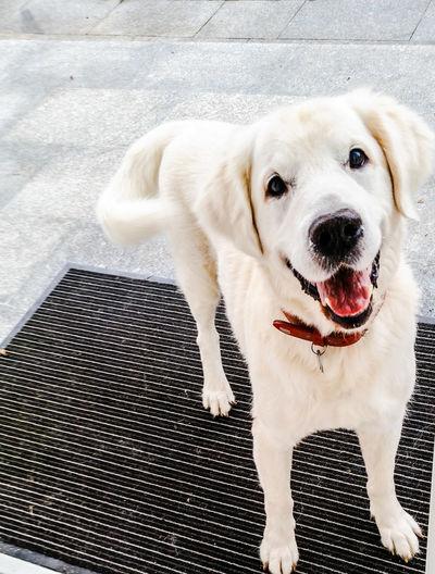 Dog Goldenretriever Golden Retriever Walking Around ..lets go gassi