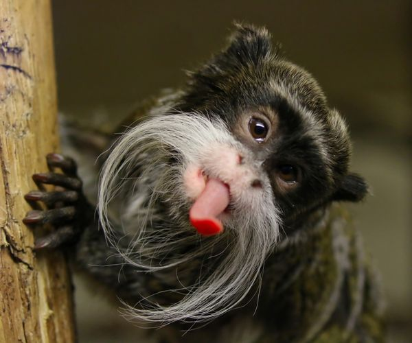 Cheeky Emperor Tamarin Monkey Animal Themes Animals In The Wild Close-up Day Mammal Nature No People One Animal Outdoors