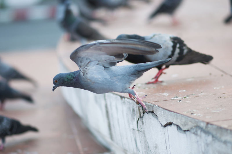 Pigeons were flying Bird Close-up Day Fly Focus On Foreground Nature No People Outdoors Pigeon Selective Focus