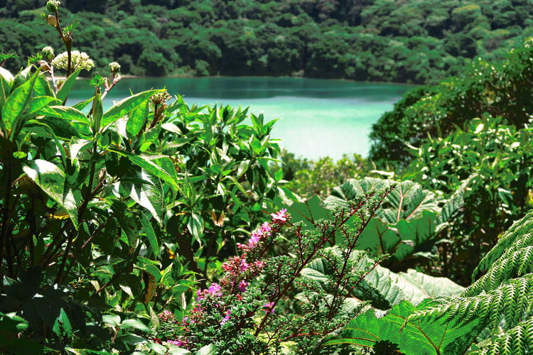 Beauty In Nature Day Flower Freshness Green Color Growth Leaf Lush - Description Nature No People Outdoors Plant Poas Volcano National Scenics Tree Volcano Volcano Lake Water