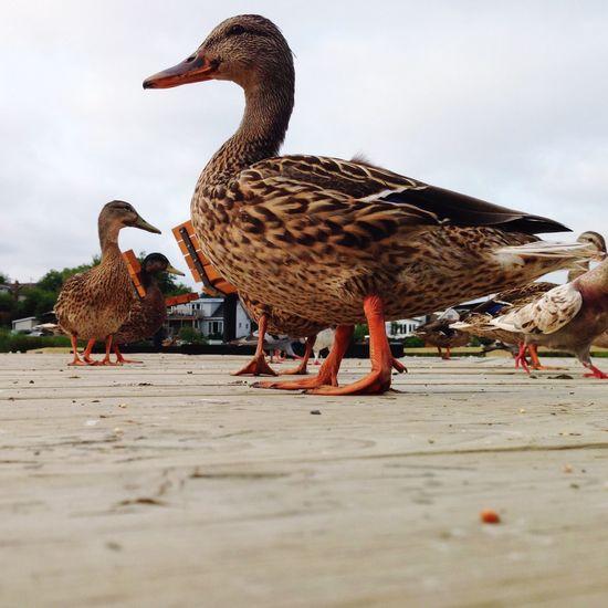 Duckpose Enjoying The Sun Feeding Ducks Learn & Shoot: Layering Summer2015