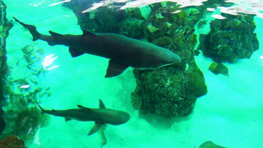 Aquarium Blue Fish Sea Life Shark Sharks Swimming UnderSea Underwater Water