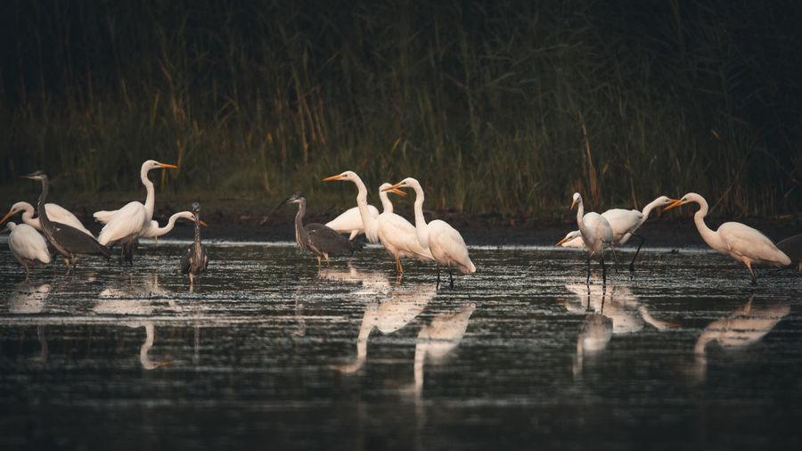 Flock of birds in calm lake