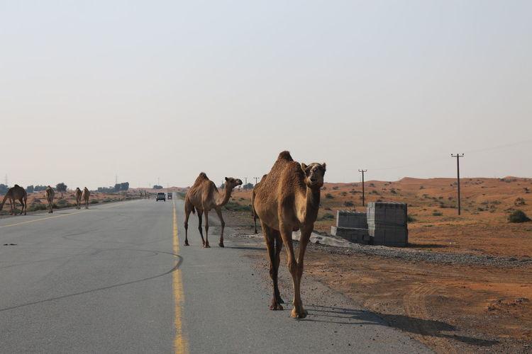 Horses on street in city
