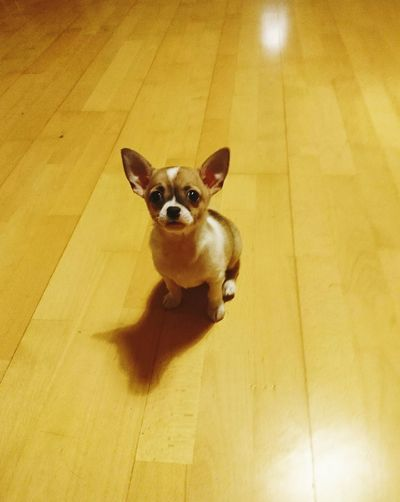 Chiuaua Little Pets Pets One Animal Looking At Camera Dog Domestic Animals Portrait Mammal Day Animal Themes Shadow