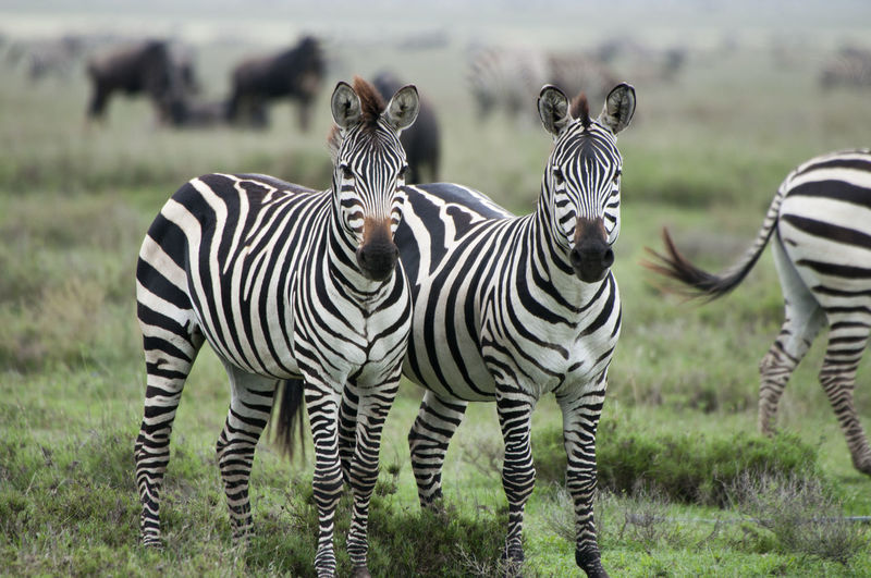 Zebra Pair Africa Animal Markings Animal Themes Animals In The Wild Beauty In Nature Close-up Day Field Focus On Foreground Grass Looking At Camera Natural Pattern Nature No People Outdoors Pair Safari Safari Animals Standing Striped Sunlight Two Animals Wildlife Zebra