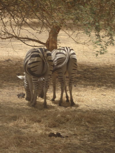 Bandia reserve African Safari Animal Themes Animals In The Wild Bandia Reserve Beauty In Nature Day Full Length Grass Hoofed Mammal Mammal Nature No People Outdoors Safari Safari Animals Standing Sunlight Togetherness Tree Zebra