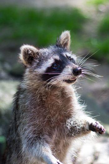 Waschbär Tier Neugier  Augen Fell Racoon Animal Pfoten Paws