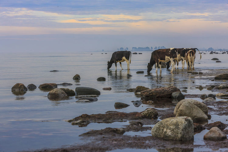 An early summer morning on the east side of the Swedish island Öland. The fog is still blurring the horizon. From behind me young cows come strolling down to the brackish water of the Baltic Sea for a drink. Öland Sunrise Cows Outdoors No People Horizon Over Water Scenics - Nature Pets Horizon Domestic Animal Themes Nature Mammal Beauty In Nature Cloud - Sky Land Rock - Object Sea Animal Solid Sunset Group Of Animals Rock Sky Water