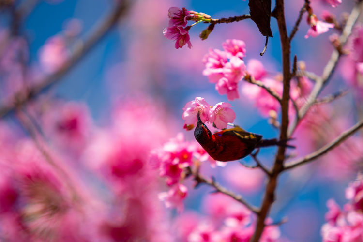 Beautiful sakura or cherry blossom in spring on blue sky , nature background Plant Flower Growth Animals In The Wild Animal Wildlife Nature Selective Focus Cherry Blossom Outdoors Bird Chiang Mai | Thailand Travel Winter Season  Nature Wildlife Backgrounds Garden Blooming Sakura Pink Flora Tourism Forest