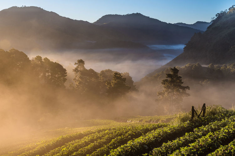 Tea Plantation On Doi Ang Khang Mountain During Foggy Weather