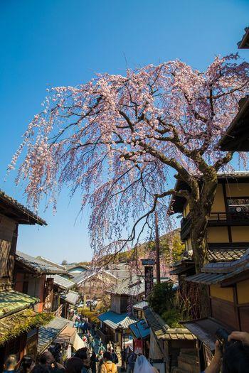 京都 桜 枝垂れ桜 東山 三年坂 産寧坂 Kyoto Cherry Blossoms Japan 日本
