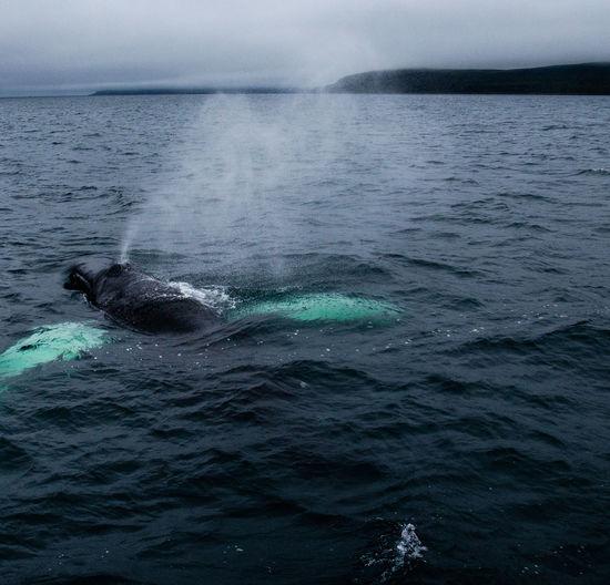 Close view of a humpback whale, near holmavik, iceland.