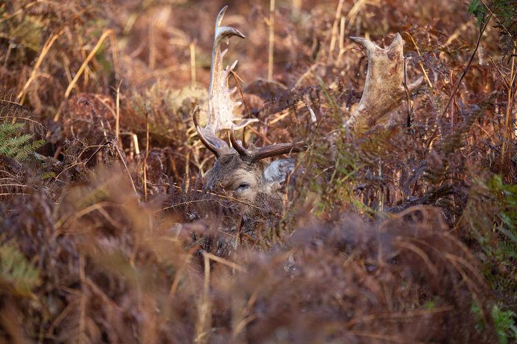 Deer at Hampton